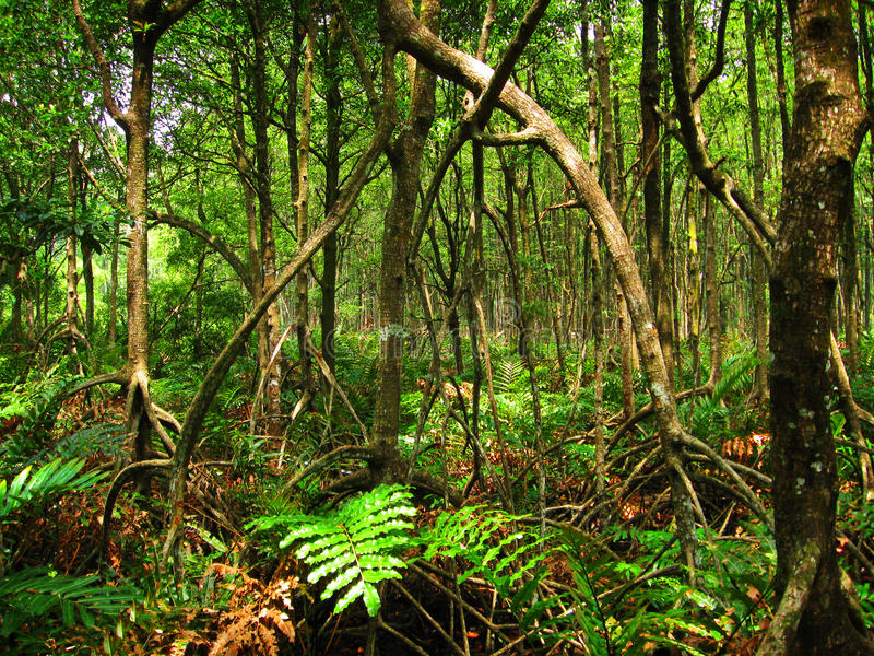 森林热带马来西亚的美洲红树 免版税库存图片