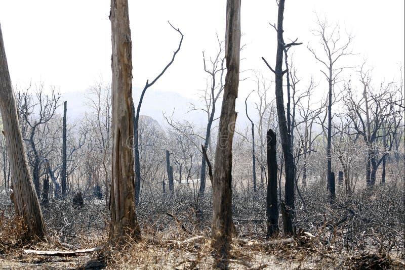 森林狂放在火以后 库存图片