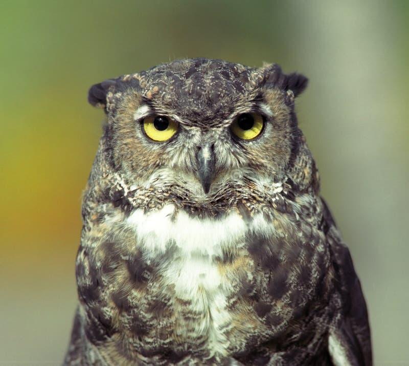 森林猫头鹰 库存照片