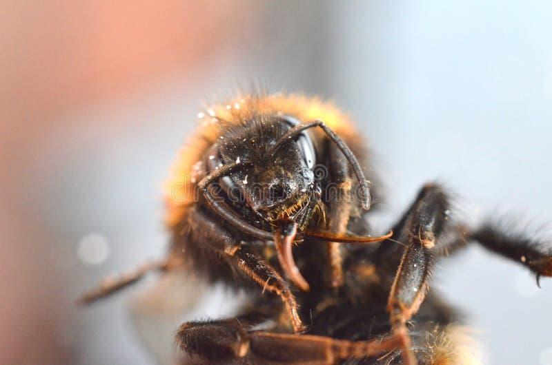 森林疯狂的大黄蜂英国关闭宏观 库存照片