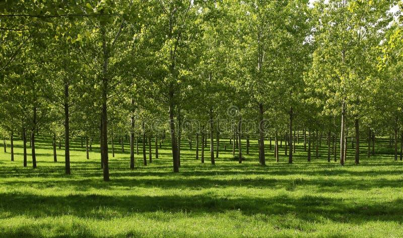 森林白杨树 免版税库存照片
