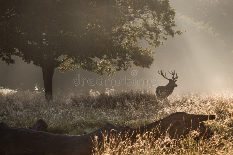 森林的国王 免版税库存图片