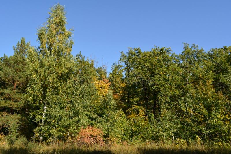 森林的边缘在秋季的开头部分 与绿色和黄色叶子的美丽的树在天空蔚蓝背景  免版税库存图片