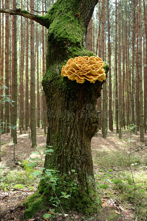 森林真菌的鸡 库存照片