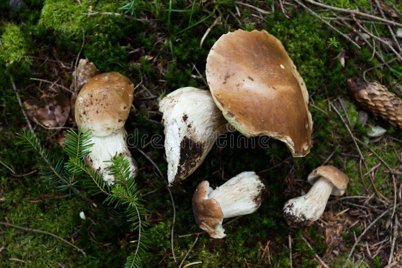 森林秋天可食的便士小圆面包真菌 狂放的便士小圆面包、等概率圆、porcino或者porcini 图库摄影