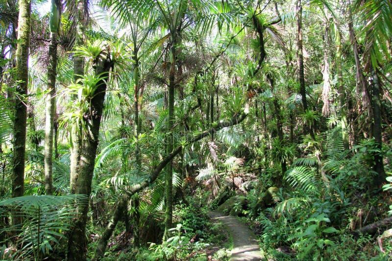 森林线索, El Yunque 免版税库存照片