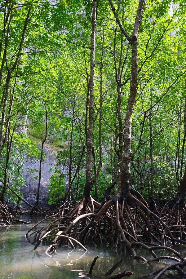 森林美洲红树 免版税图库摄影