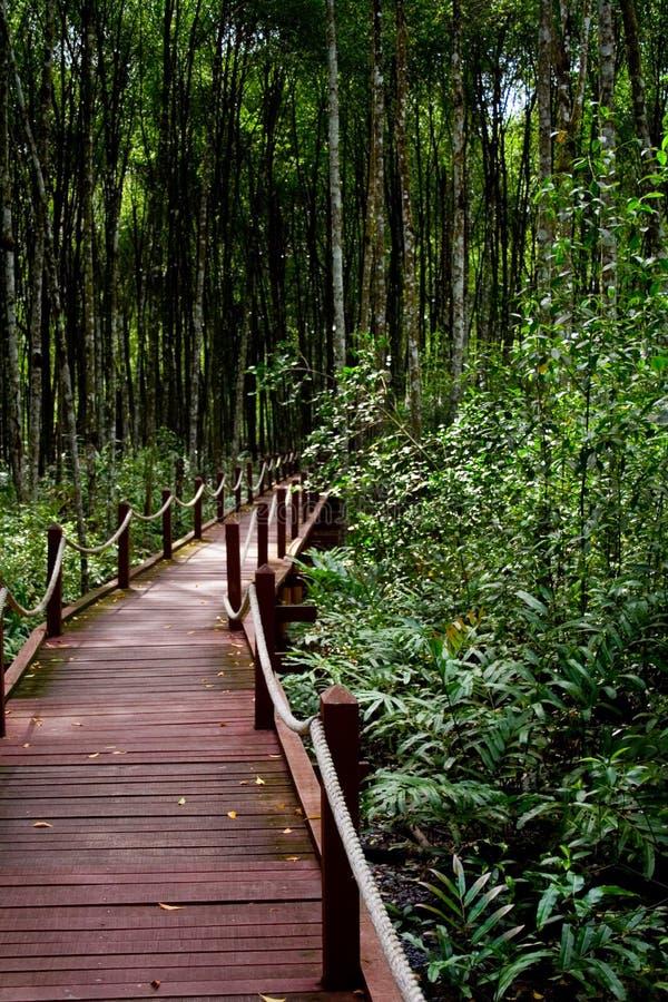 森林美洲红树 图库摄影
