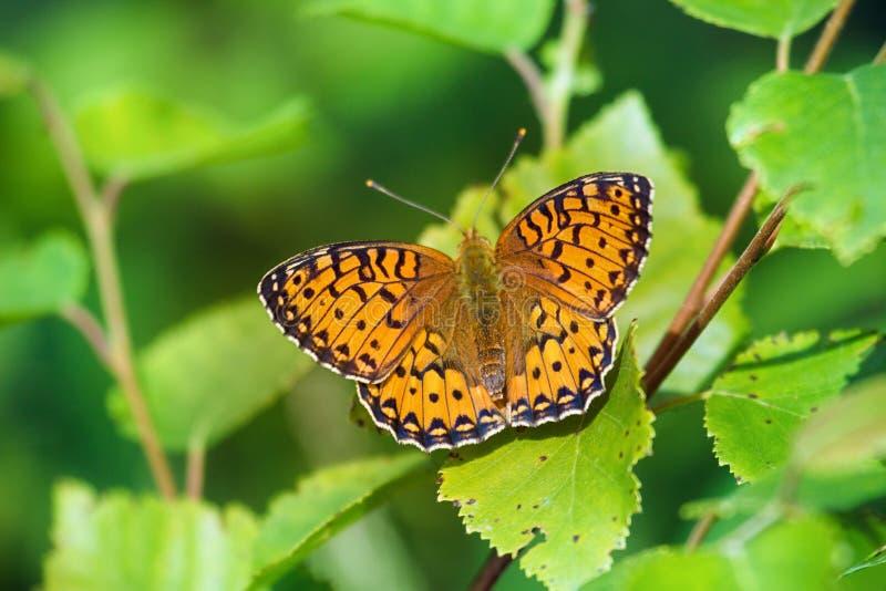 森林草甸蝴蝶高布朗贝母 库存图片