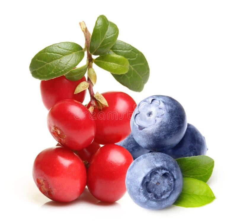 森林莓果越橘 免版税图库摄影