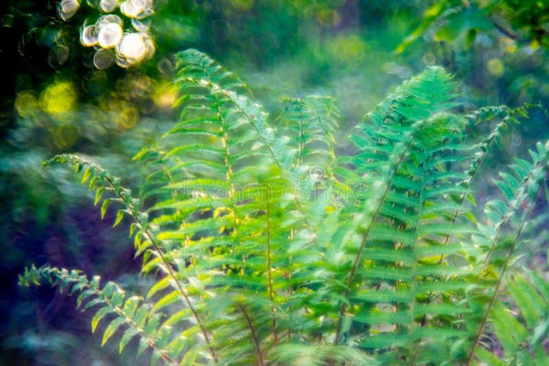 森林蕨 免版税库存图片