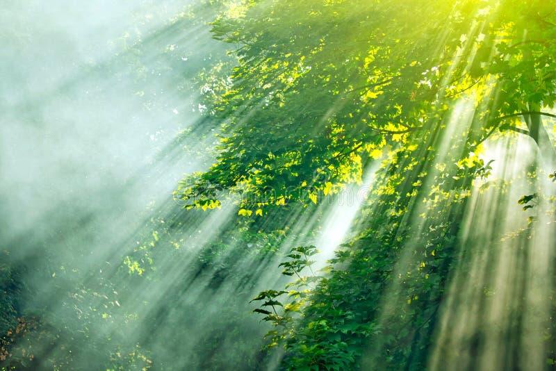 森林薄雾阳光 库存图片