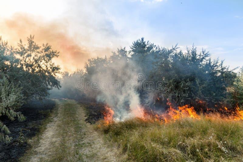 森林野火 干草和树的灼烧的领域 反对蓝天的浓烟 狂放的火由于热的刮风的天气 免版税库存照片