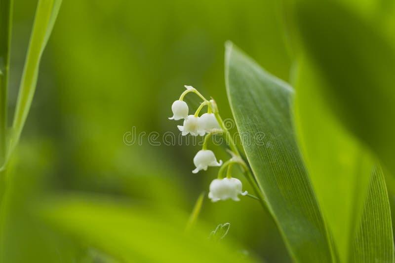 Download 森林铃兰自然光 库存照片. 图片 包括有 绿色, 空白, 植物群, 影子, 黄色, 森林, 本质, 晒裂 - 72360782