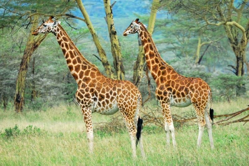 森林长颈鹿肯尼亚 图库摄影