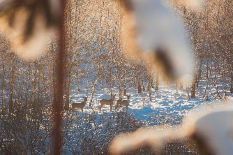 森林隐匿中的罗鹿 库存照片