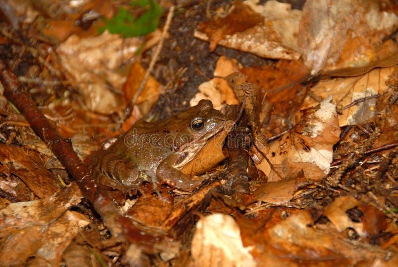 森林青蛙 免版税图库摄影