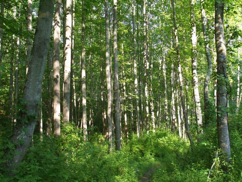 森林马里兰结构树 免版税库存照片