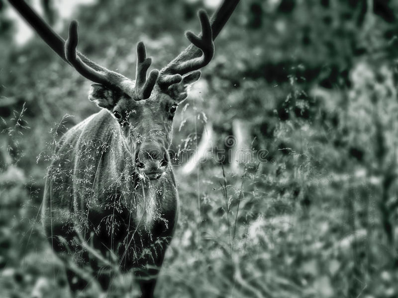 森林驯鹿 免版税库存照片