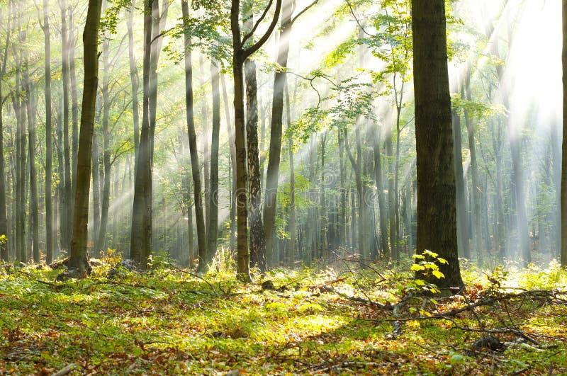 森林黎明 免版税库存图片