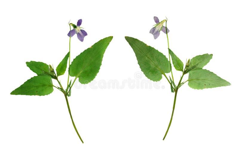森林紫罗兰被按的和干词根与绿色叶子的 库存照片