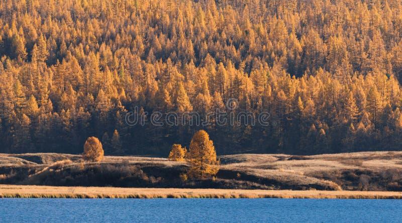 森林Mountain湖的墙壁有蓝色冷水的,围拢由黄色落叶松属 免版税库存图片