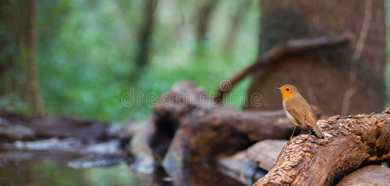 森林waterhole的欧洲人罗宾 图库摄影