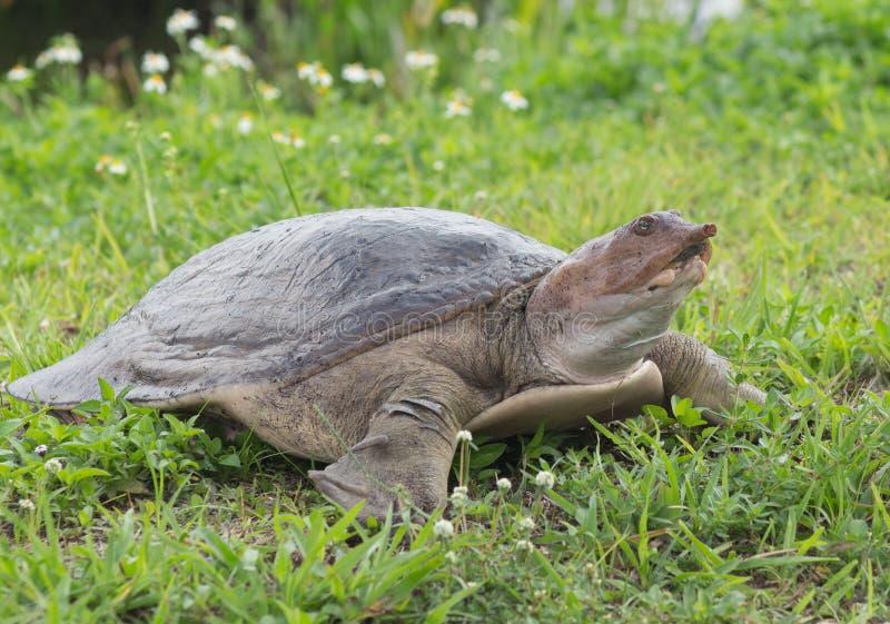 棱皮海龟 库存照片