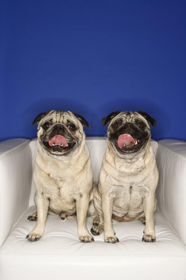 椅子尾随坐二的哈巴狗 库存图片