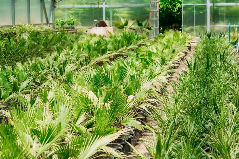 植物与叶子,叶子生长从土壤的在罐自温室或温室的棕榈图片