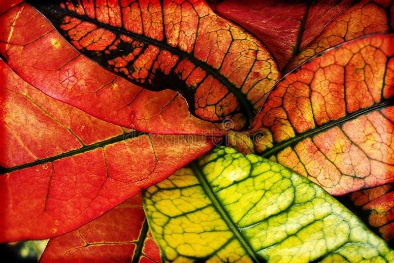 植物五颜六色的叶子创造有趣和原始的背景的特写镜头的 库存照片