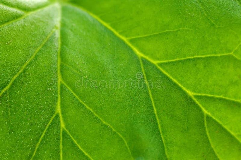 植物关闭的大绿色叶子 条纹、动脉和植物的结构光的 免版税库存照片
