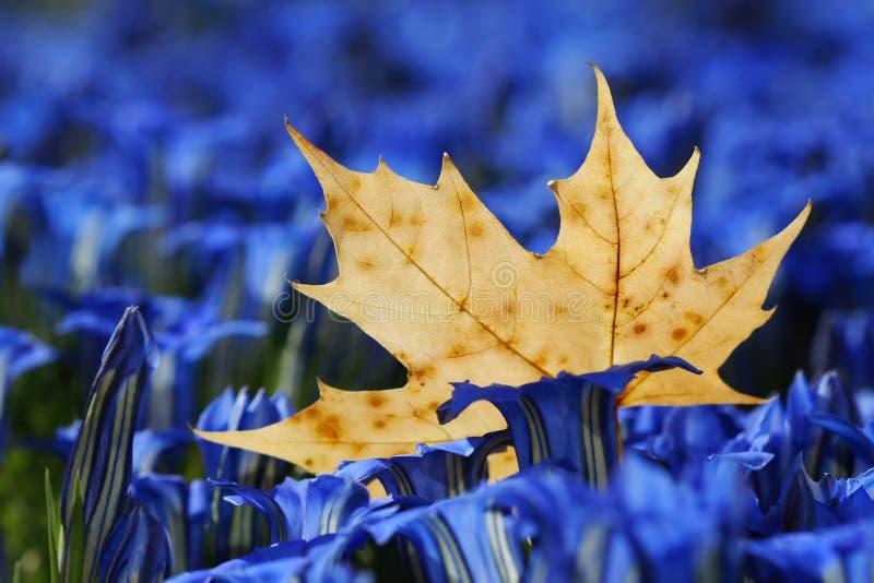 植物叶子槭树 库存图片