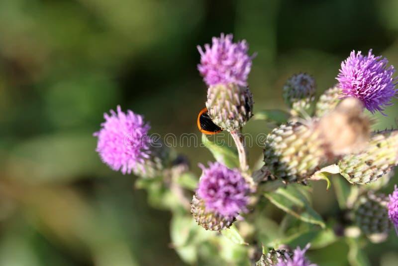 植物名绽放在草甸 它显示一只红色瓢虫 r 库存图片