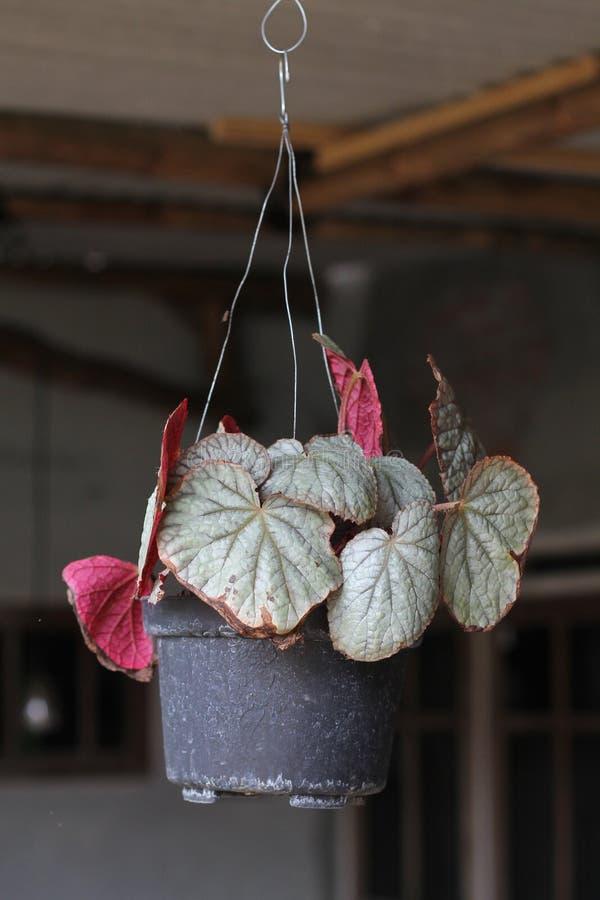 植物告诉安祖花,版本2 免版税图库摄影