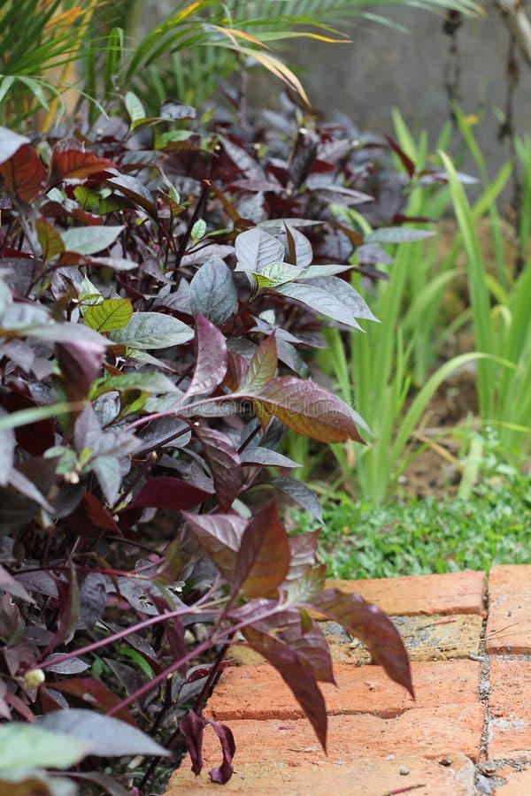 植物告诉安祖花,版本6 免版税库存图片