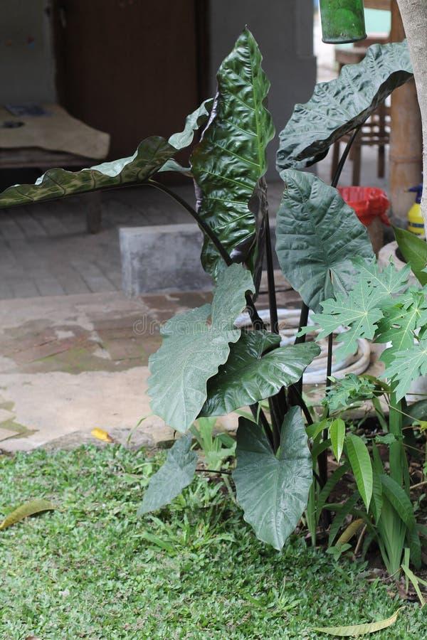 植物告诉安祖花,版本5 免版税图库摄影