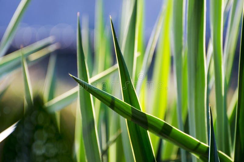 植物园绿色丝兰 库存照片