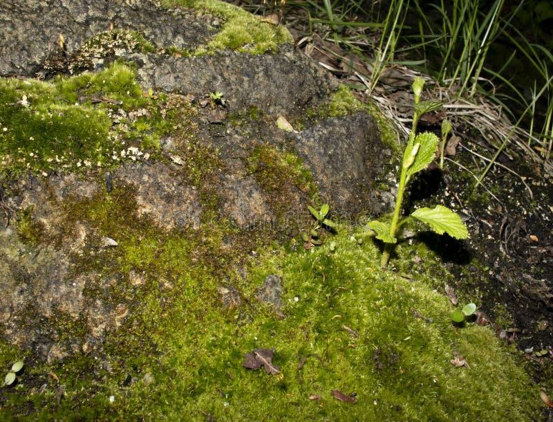 植物在青苔增长 图库摄影
