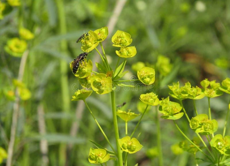 植物大戟属cyparissias 免版税库存照片