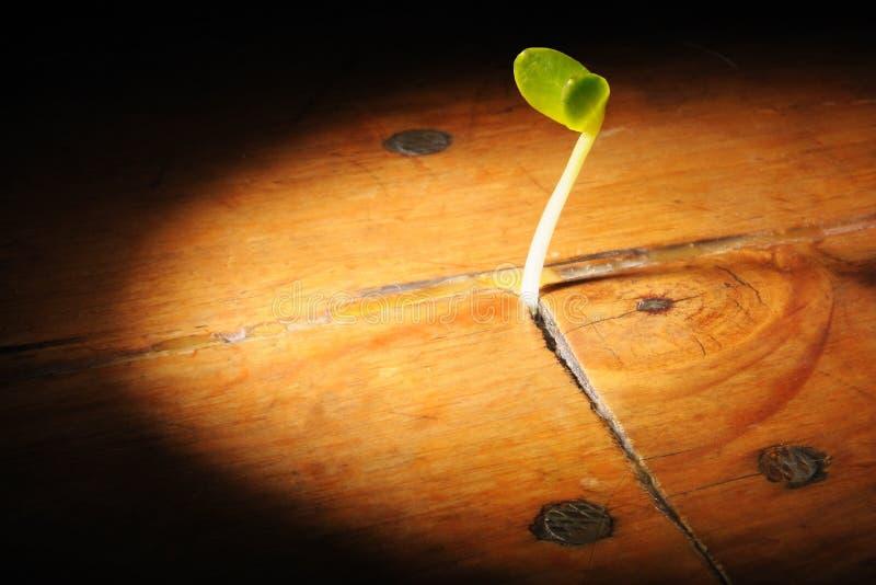 植物成长生长在一个木地板 库存图片