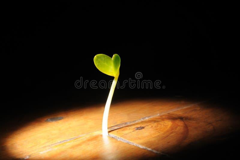 植物成长生长在一个木地板 免版税库存照片