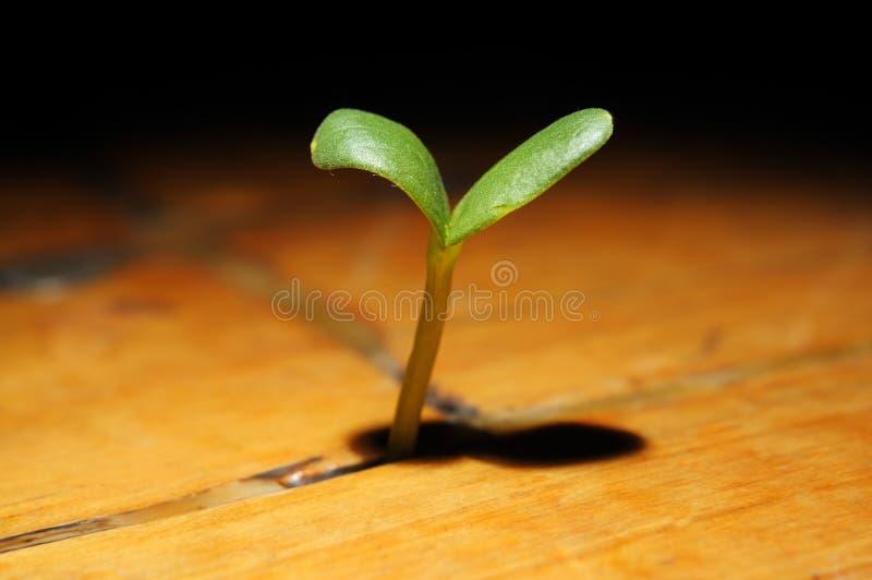 植物成长生长在一个木地板 免版税库存图片