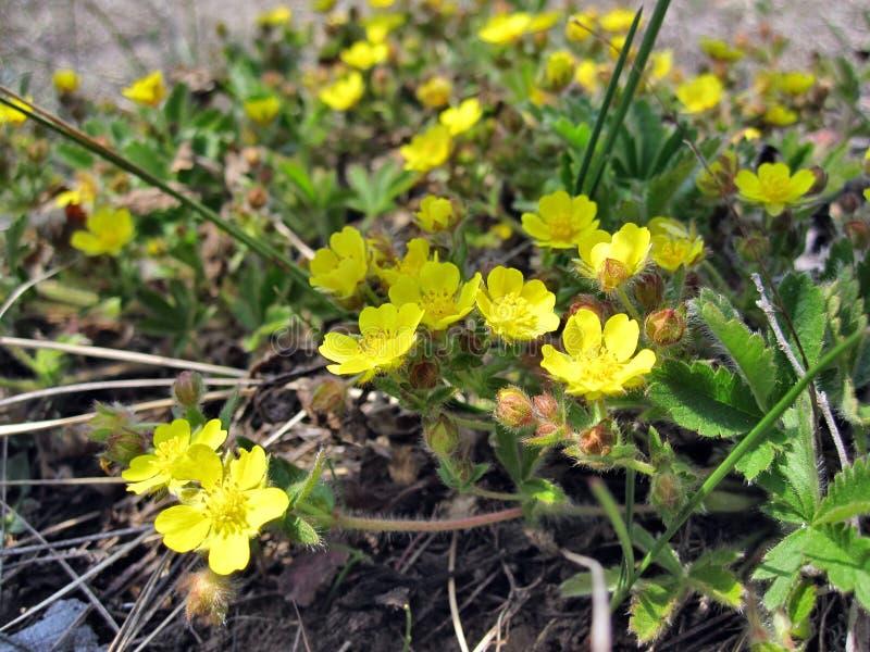 植物月见草属fruticosa 库存图片