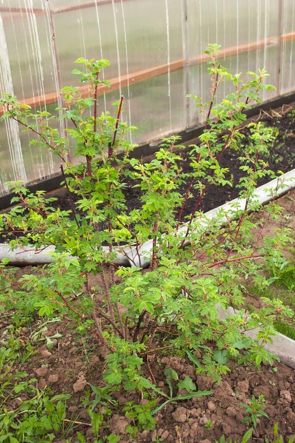 植物灌木石南木 免版税库存图片