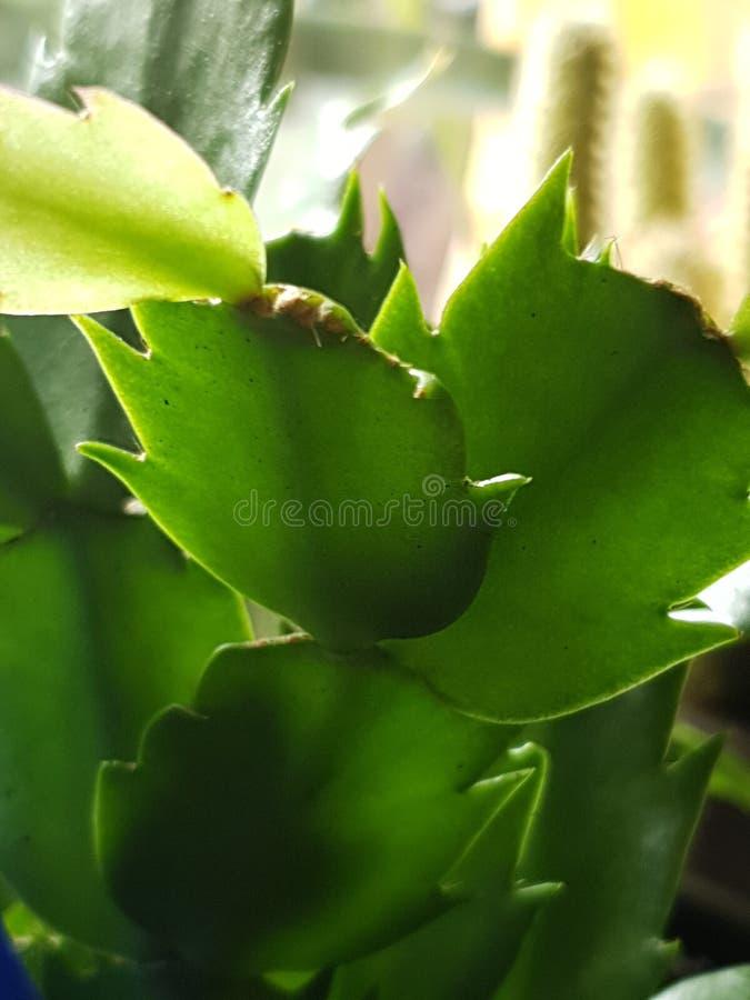 植物狂放的绿色Kaktus 免版税库存图片