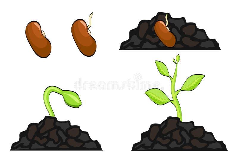 植物生长阶段从种子到新芽 传染媒介例证, EP 皇族释放例证