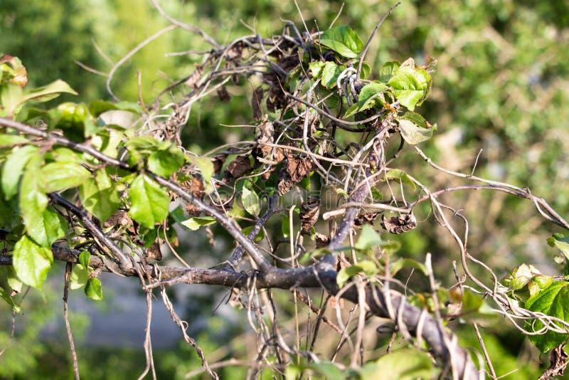 植物的一个干燥藤编织绿色和生存树的分支 夏天晴朗的天气 免版税图库摄影
