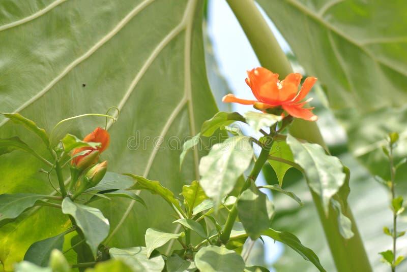 植物的一个未知的种类的红色花 库存照片