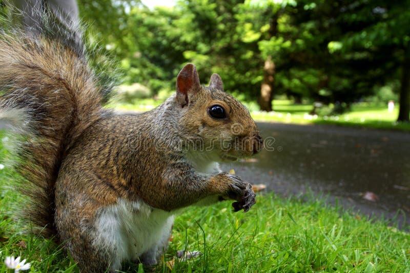 植物的公园灰鼠 免版税库存照片